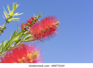 Vivid colors of Australian Callistemon red bottlebrush flowers and flower buds against clear blue sky on a bright sunny Spring day