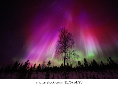 Vivid display of Aurora Borealis above boreal forest in Finnish Lapland.