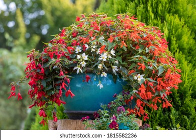 Vivid Flowers Begonia boliviensis, Waterfall of red blossom in summer garden