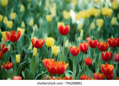 Vivid fresh bright sweet colorful Tulips garden flower beautiful nature background.