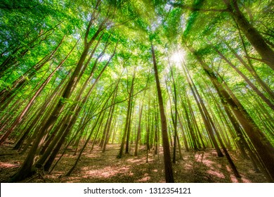 Vivid green colors and warm sunshine in a beautiful beech forest