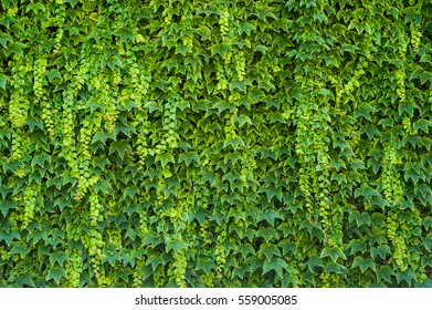 Vivid green ivy wall surface texture as background image