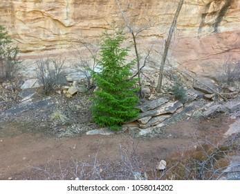 Vivid green Spring evergreen in a Colorado Canyon.