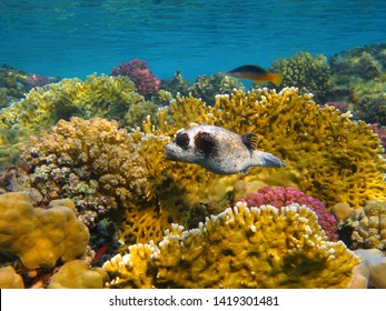 Vivid healthy coral reef and swimming pufferfish (Tetraodontidae). Ocean ecosystem with fish and beautiful corals. Snorkeling on the reef, underwater photography.