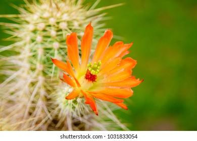 a vivid orange red scarlet flower of Echinocereus triglochidiatus cactus plant against green garden background