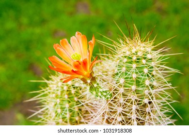 a vivid orange red scarlet flower of Echinocereus triglochidiatus cactus plant against green garden background