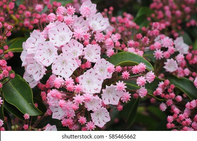 Vivid  to pale pink Mountain Laurel (Kalmia latifolia), closeup on the Blue Ridge Parkway, Tennessee makes for colorful spring travel.