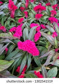 Vivid Pink colorful natural flower of Celosia argentea var. cristata L.Kuntze.Celosia cristata L.select focus views.
