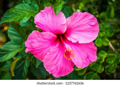 Vivid pink hibiscus blossom on green foliage background