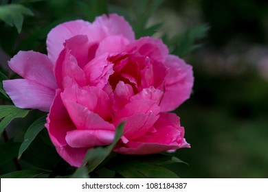 Vivid pink peonies peony roses flowers, natural shine effect. Vivid floral wallpaper, background from flower petals. Trendy color. Bloom love concept. Card, text place, copy space. Selective focus.