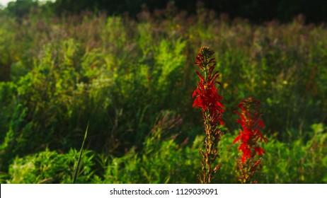 Vivid Red Cardinal Flower and Blue Vervain in a Summertime Iowa Tall Grass Prairie