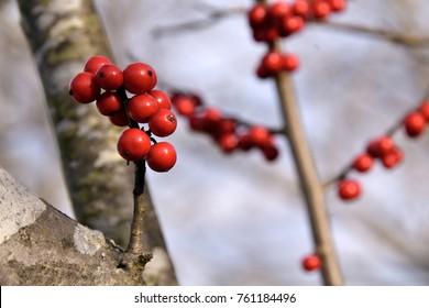 "Vivid red fruit and bark of Japanese winterberry - Ilex serrata. It is called ""Ume modoki"" in Japan."
