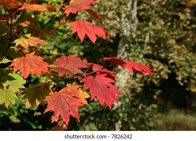 Vivid red leaves of the Japanese maple tree (Acer palmatum)