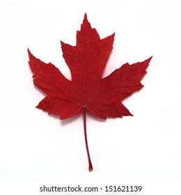 Vivid red maple leaf close up