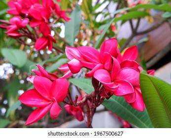 Vivid red plumeria flowers with natural light with no filter