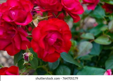 Vivid red roses in full bloom on the flowerbed nature background