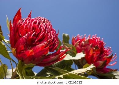 Vivid red waratah flower under blue sky