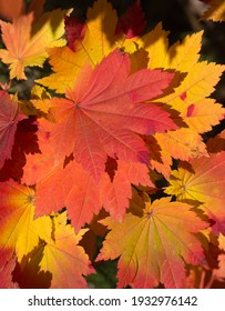 Vivid red, yellow and orange maple leaves reflect the morning sun
