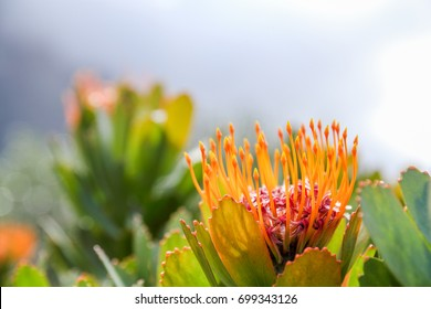 a vivid red and yellow pincushion blossom in gorgeous bloom