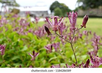 Vivid Toad Lily or Tricyrtis Hirta flowers are blooming during autumn under bright sunlight in Japan