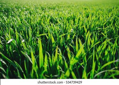 Vivid vibrant green grass (wheat) field closeup perspective view