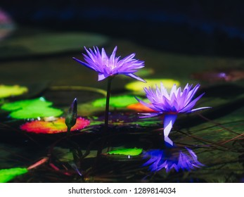 Vivid and vibrant purple violet colored water lilies floating above dark shadowy waters.
