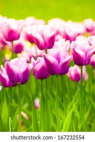 a lot of vivid violet tulips, spring, outdoors