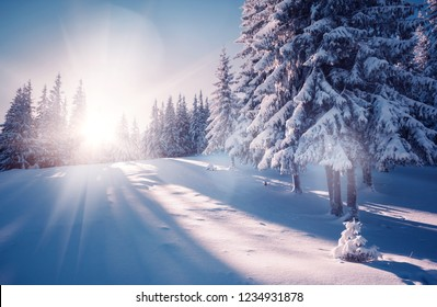 Vivid white spruces on a frosty day. Location Carpathian national park, Ukraine, Europe. Ski resort. Exotic wintry scene. Attractive winter wallpaper. Happy New Year! Discover the beauty of earth.