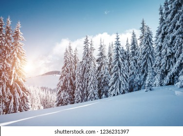 Vivid white spruces on a frosty day. Location Carpathian national park, Ukraine, Europe. Alpine ski resort. Exotic wintry scene. Idyllic winter wallpaper. Happy New Year! Discover the beauty of earth.