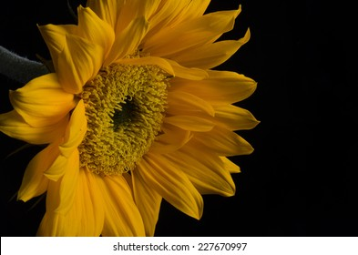 A vivid yellow colored sunflower bloom against a solid black background.