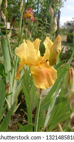 Vivid yellow iris flower with big lush petals and yellow buds. Spring blooming garden iris closeup. Bright orange fleur-de-lis with green leaves. Flowerbed of irises. Spring nature. Gardening