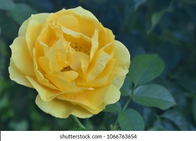Vivid Yellow Julia Child Rose Flower Up Close Among Green Leaves