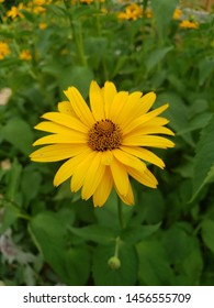A vivid yellow suncatcher sunflower stands out against  a backdrop of bright greenery.