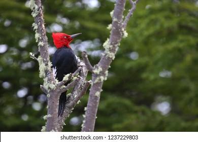 Vividly colored Magellanic woodpecker, Chile