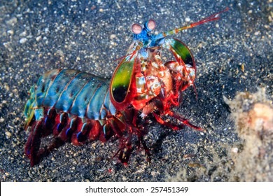 Vividly colored Peacock Mantis Shrimp on a black sandy seabed