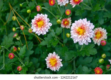 Vividly colorful chrysanthemum flowers being pollinated by ants in autumn