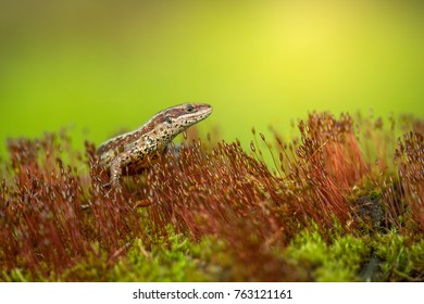 The viviparous or common lizard (Zootoca vivipara)