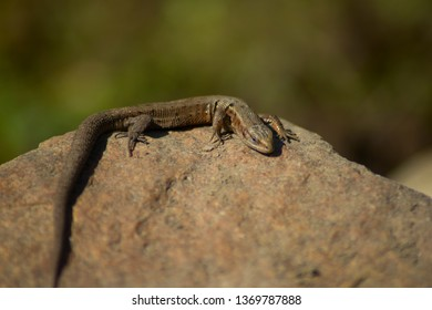 Viviparous lizard or common lizard. Macro. Zootoca vivipara. Lizard on the stone. Reptiles