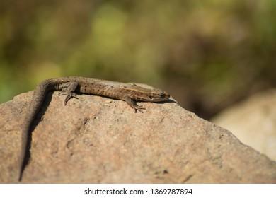 Viviparous lizard or common lizard. Macro. Zootoca vivipara. Lizard on the stone. Reptiles
