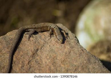 Viviparous lizard or common lizard. Macro. Zootoca vivipara. Lizard basks on a stone in spring. Reptiles