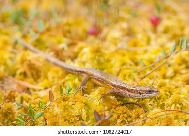 The viviparous lizard or common lizard, Zootoca vivipara (formerly Lacerta vivipara), is a Eurasian lizard. Macro on bog mosses in Scandinavia.