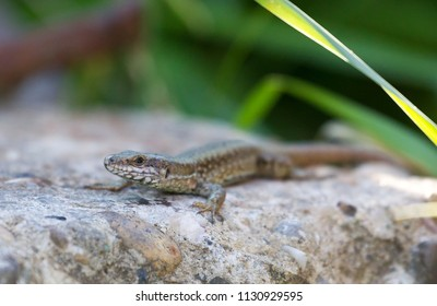 Viviparous lizard or common lizard, Zootoca vivipara (formerly Lacerta vivipara) resting on the stone with green grass in the background. This brown lizard is also known as Eurasian lizard.