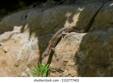 Viviparous lizard or common lizard, Zootoca vivipara, Limburg, Netherlands.