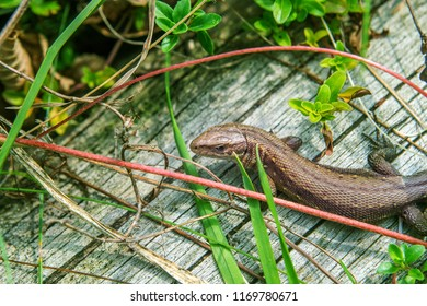 The viviparous lizard or common lizard, Zootoca vivipara (formerly Lacerta vivipara) Brown lizard on a wooden beam.