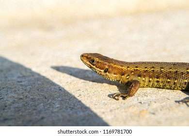 The viviparous lizard or common lizard, Zootoca vivipara (formerly Lacerta vivipara) Brown lizard on the ground.