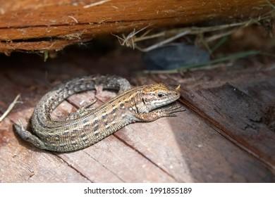 The viviparous lizard, or common lizard, (Zootoca vivipara, formerly Lacerta vivipara), is a Eurasian lizard.