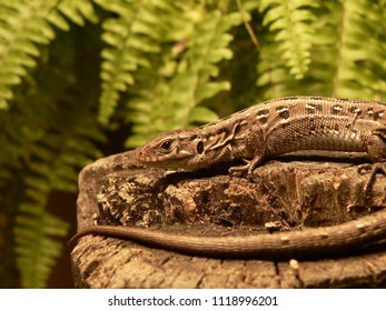 Viviparous lizard female