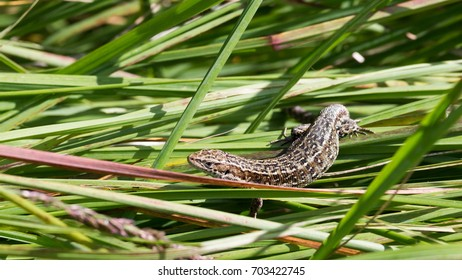 viviparous lizard in the green