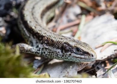 Viviparous lizard hiding on the ground