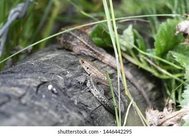 the viviparous lizard is a live bearing species
